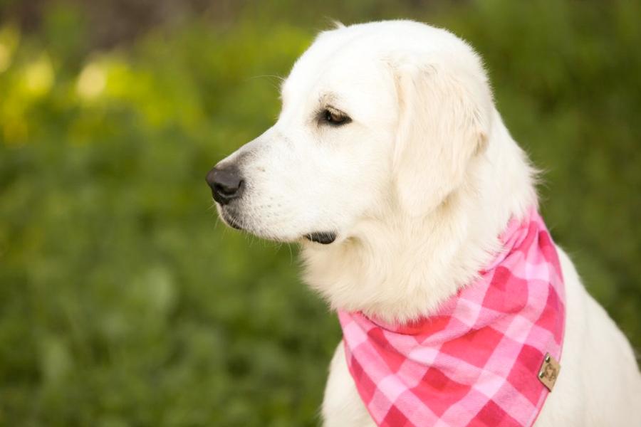 Gravitas Goldens Girl Dog Willow