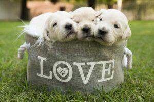 Gravitas Goldens Future Dogs
