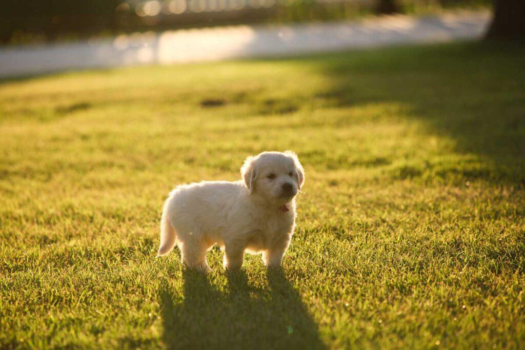 Gravitas Goldens Beutiful Golden Retriever Puppies