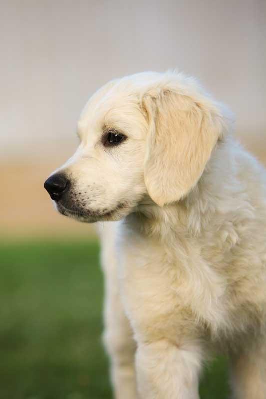 Gravitas Goldens Puppy Raising
