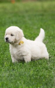 Gravitas Goldens Beutiful Golden Retriever Puppies